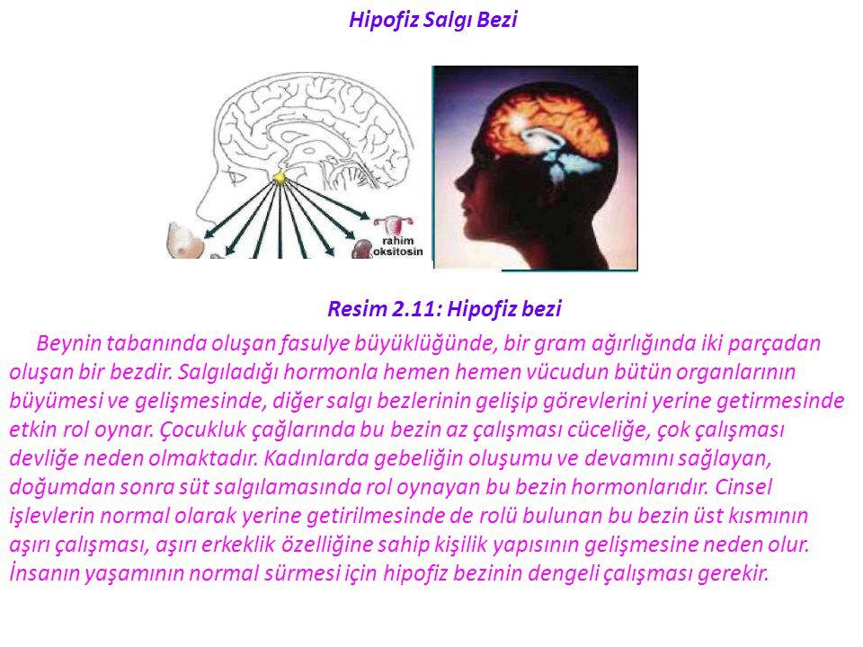 Hipofiz Salgı Bezi Resim 2.11: Hipofiz bezi. Beynin tabanında oluşan fasulye büyüklüğünde, bir gram ağırlığında iki parçadan.