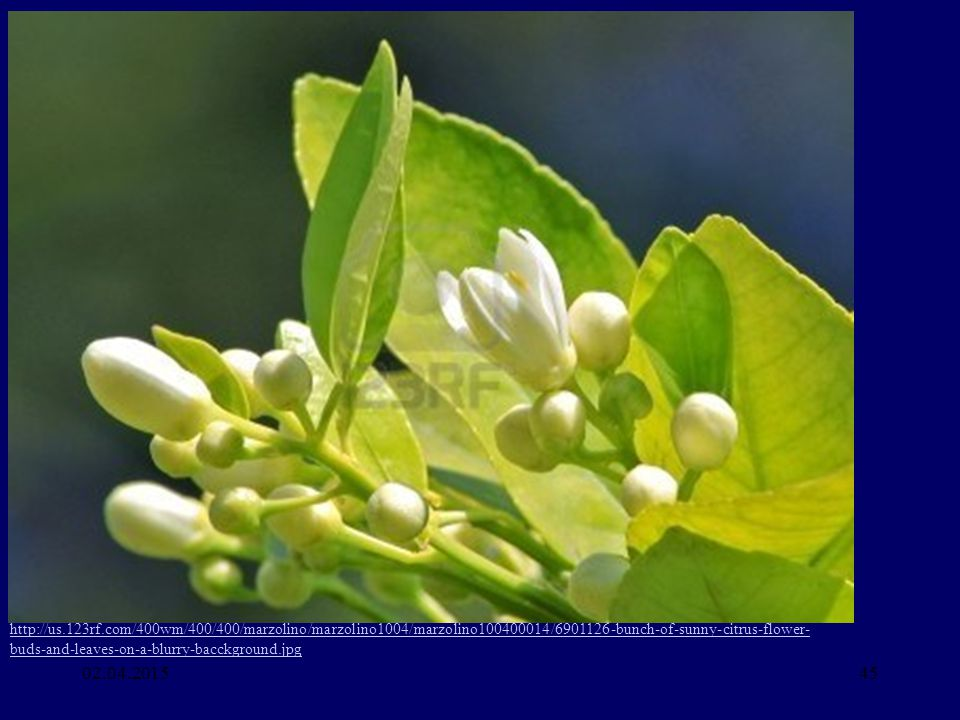 http://us.123rf.com/400wm/400/400/marzolino/marzolino1004/marzolino100400014/6901126-bunch-of-sunny-citrus-flower-buds-and-leaves-on-a-blurry-bacckground.jpg