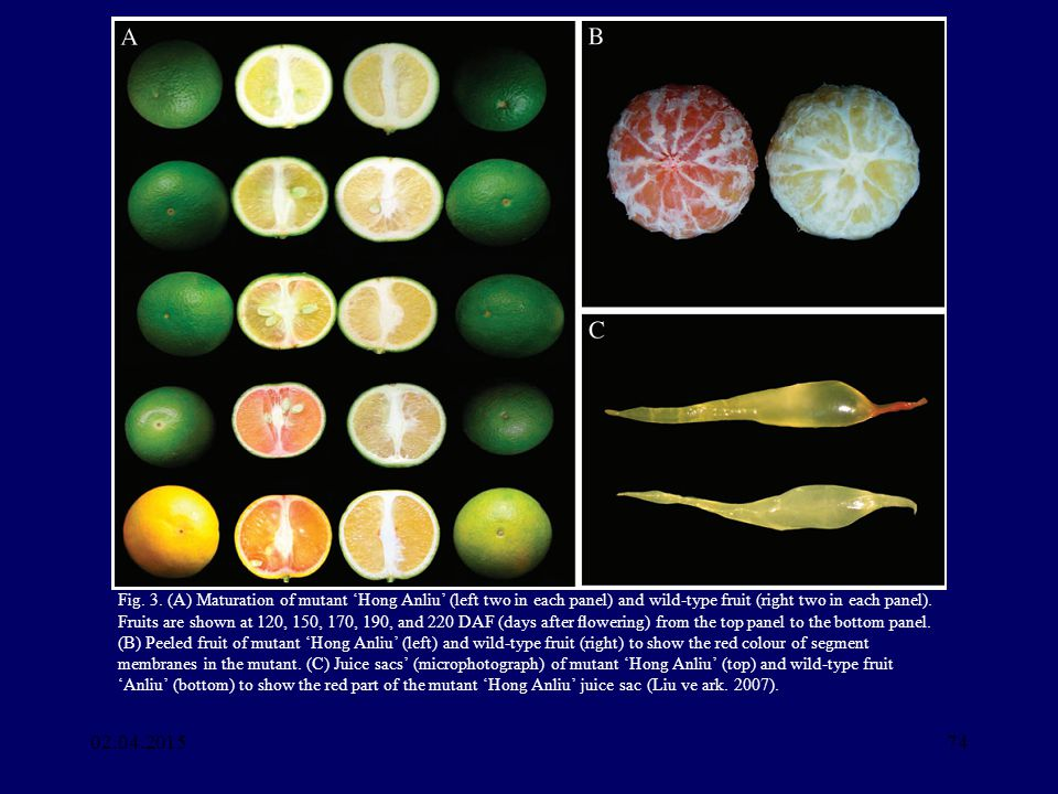 Fig. 3. (A) Maturation of mutant 'Hong Anliu' (left two in each panel) and wild-type fruit (right two in each panel). Fruits are shown at 120, 150, 170, 190, and 220 DAF (days after flowering) from the top panel to the bottom panel. (B) Peeled fruit of mutant 'Hong Anliu' (left) and wild-type fruit (right) to show the red colour of segment membranes in the mutant. (C) Juice sacs' (microphotograph) of mutant 'Hong Anliu' (top) and wild-type fruit 'Anliu' (bottom) to show the red part of the mutant 'Hong Anliu' juice sac (Liu ve ark. 2007).