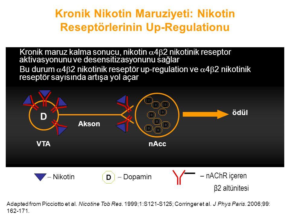 Kronik Nikotin Maruziyeti: Nikotin Reseptörlerinin Up-Regulationu