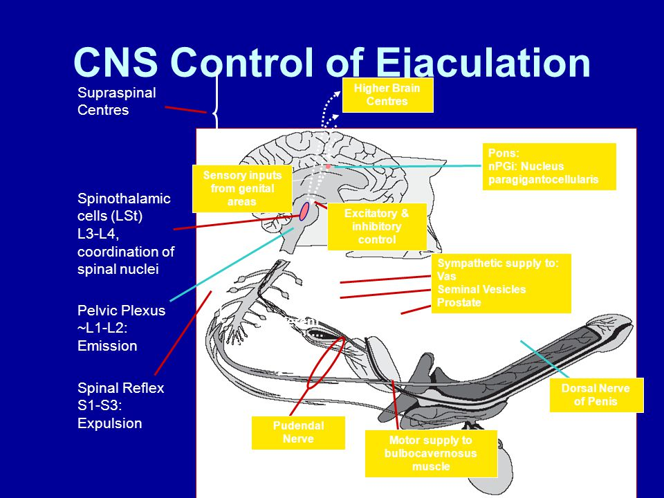 CNS Control of Ejaculation