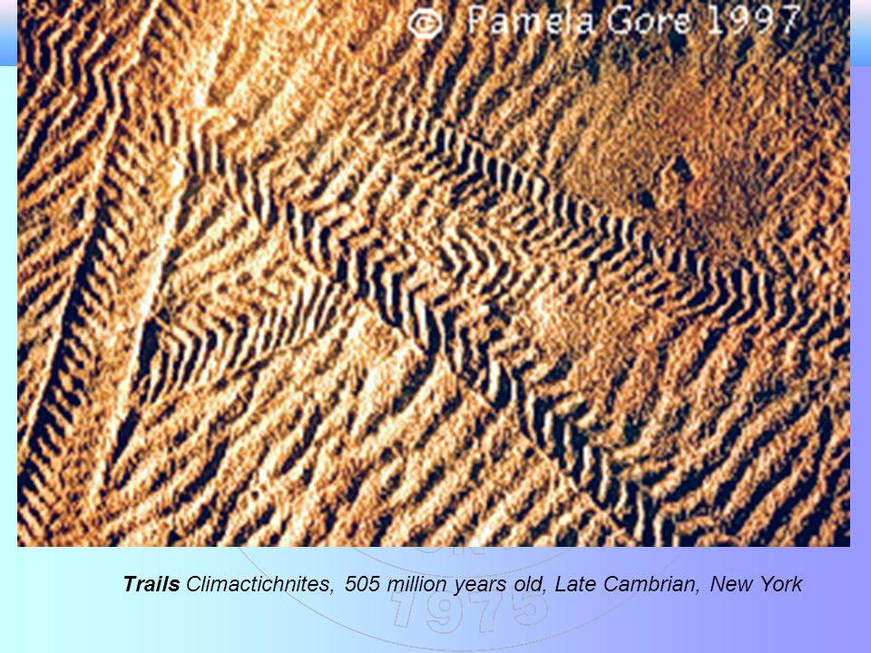 Trails Climactichnites, 505 million years old, Late Cambrian, New York