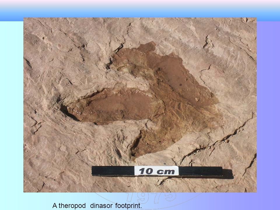 A theropod dinasor footprint.