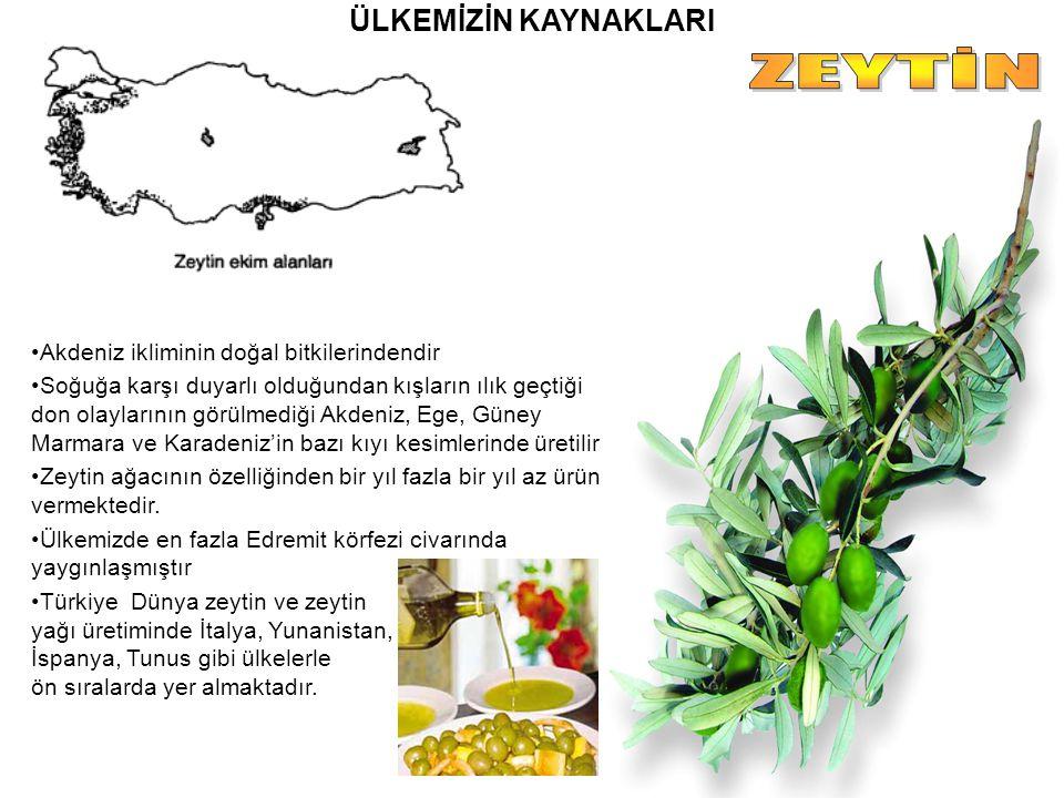 ZEYTİN ÜLKEMİZİN KAYNAKLARI Akdeniz ikliminin doğal bitkilerindendir