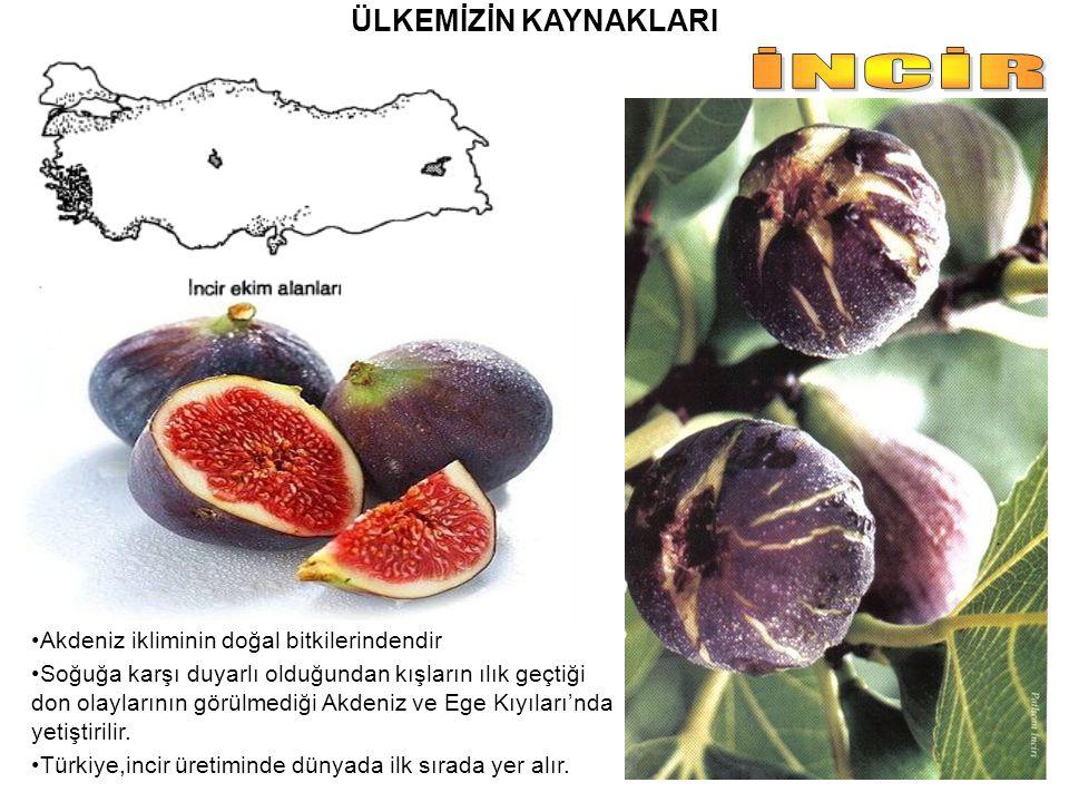 İNCİR ÜLKEMİZİN KAYNAKLARI Akdeniz ikliminin doğal bitkilerindendir