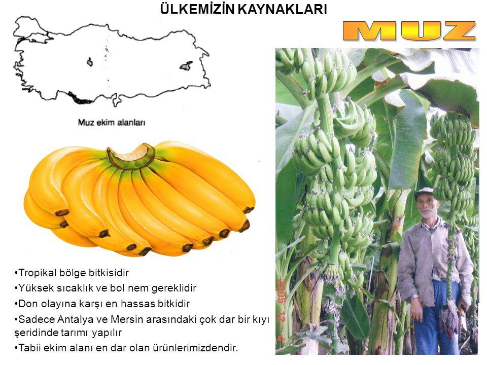 MUZ ÜLKEMİZİN KAYNAKLARI Tropikal bölge bitkisidir