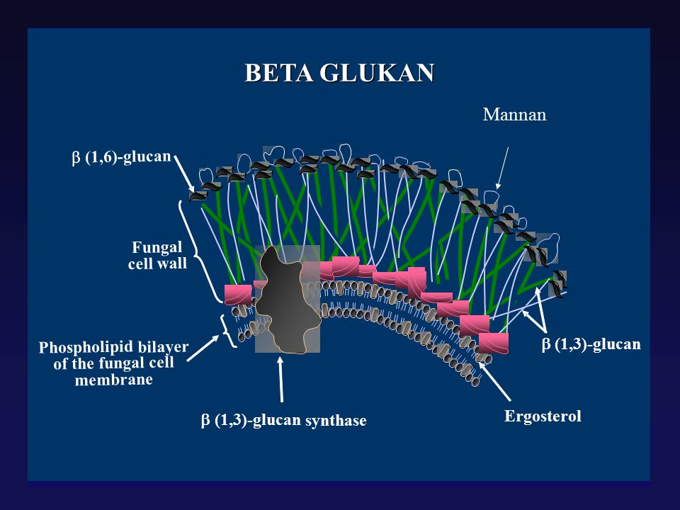 BETA GLUKAN Mannan b (1,6) - glucan Fungal cell wall Phospholipid