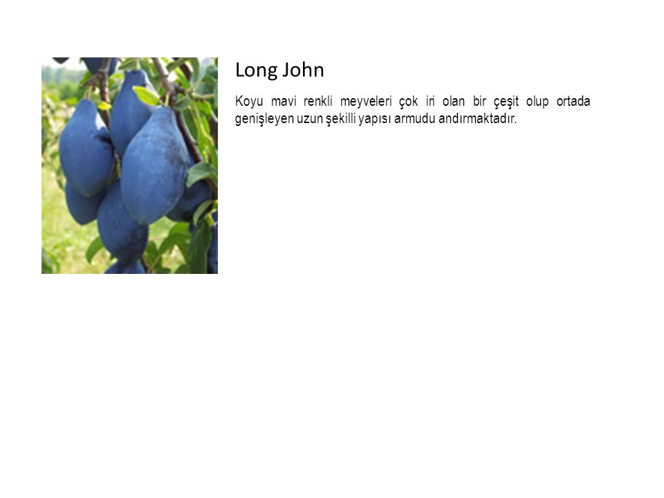 Long John Koyu mavi renkli meyveleri çok iri olan bir çeşit olup ortada genişleyen uzun şekilli yapısı armudu andırmaktadır.