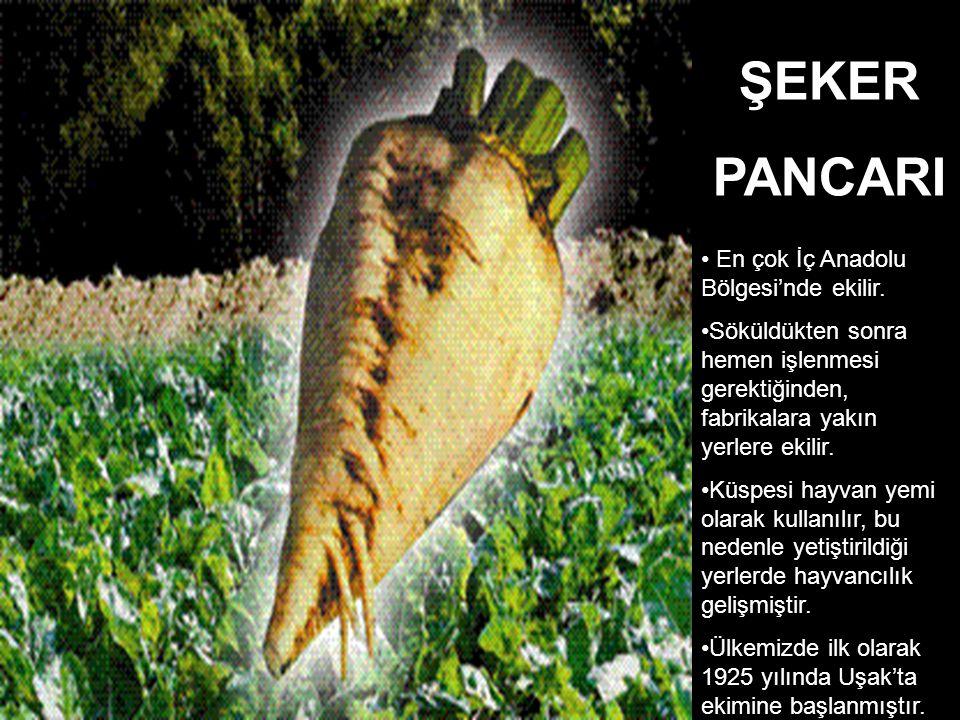 ŞEKER PANCARI En çok İç Anadolu Bölgesi'nde ekilir.