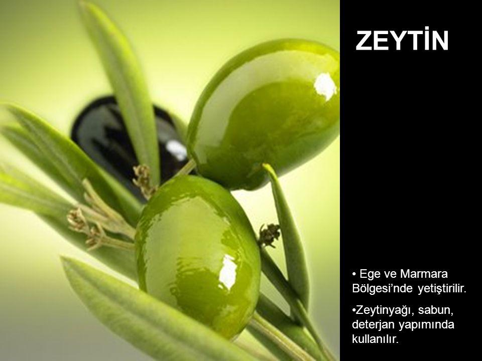 ZEYTİN Ege ve Marmara Bölgesi'nde yetiştirilir.