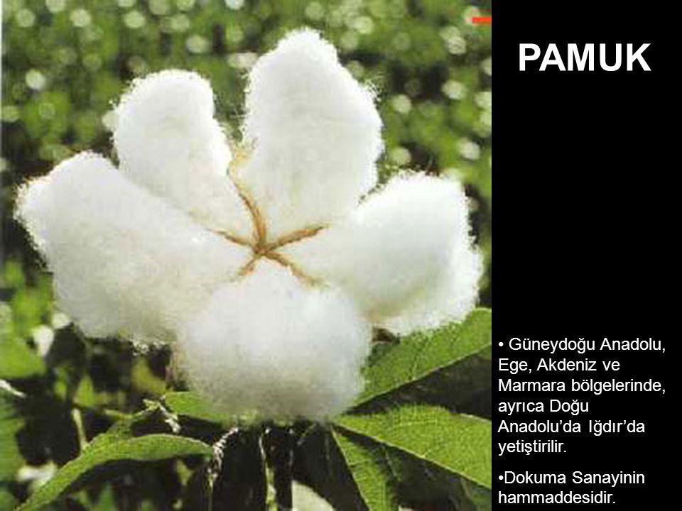 PAMUK Güneydoğu Anadolu, Ege, Akdeniz ve Marmara bölgelerinde, ayrıca Doğu Anadolu'da Iğdır'da yetiştirilir.