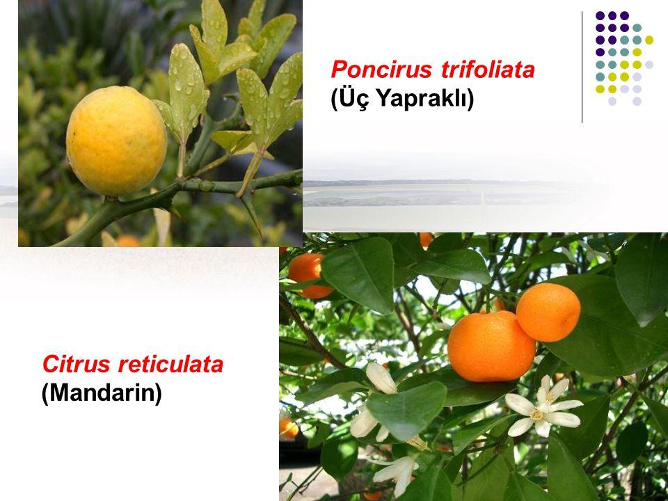 Poncirus trifoliata (Üç Yapraklı) Citrus reticulata (Mandarin)