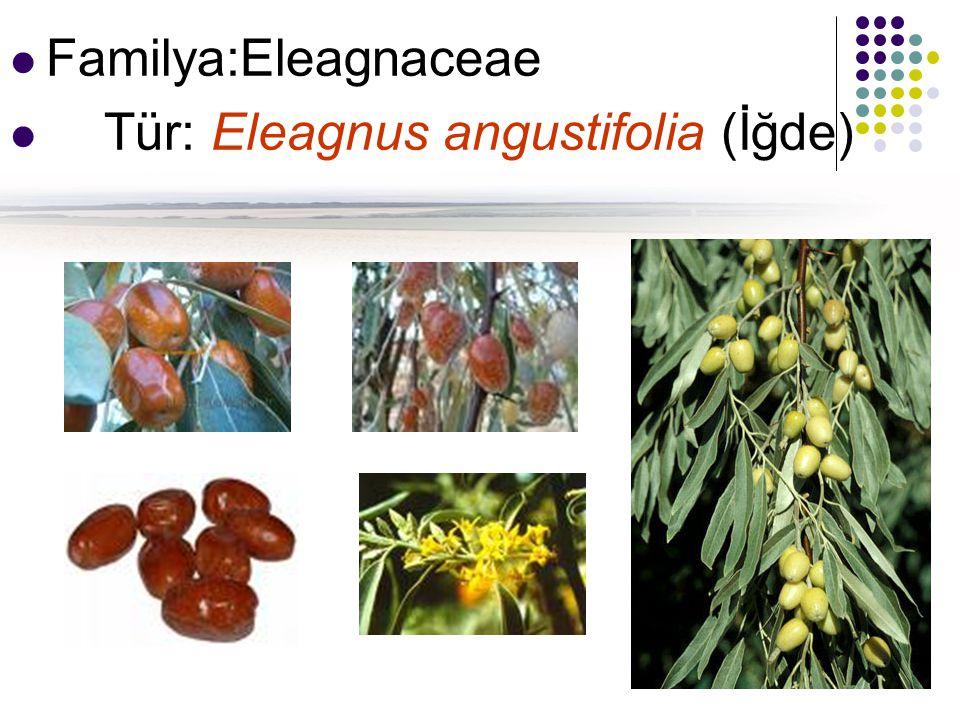 Familya:Eleagnaceae Tür: Eleagnus angustifolia (İğde)