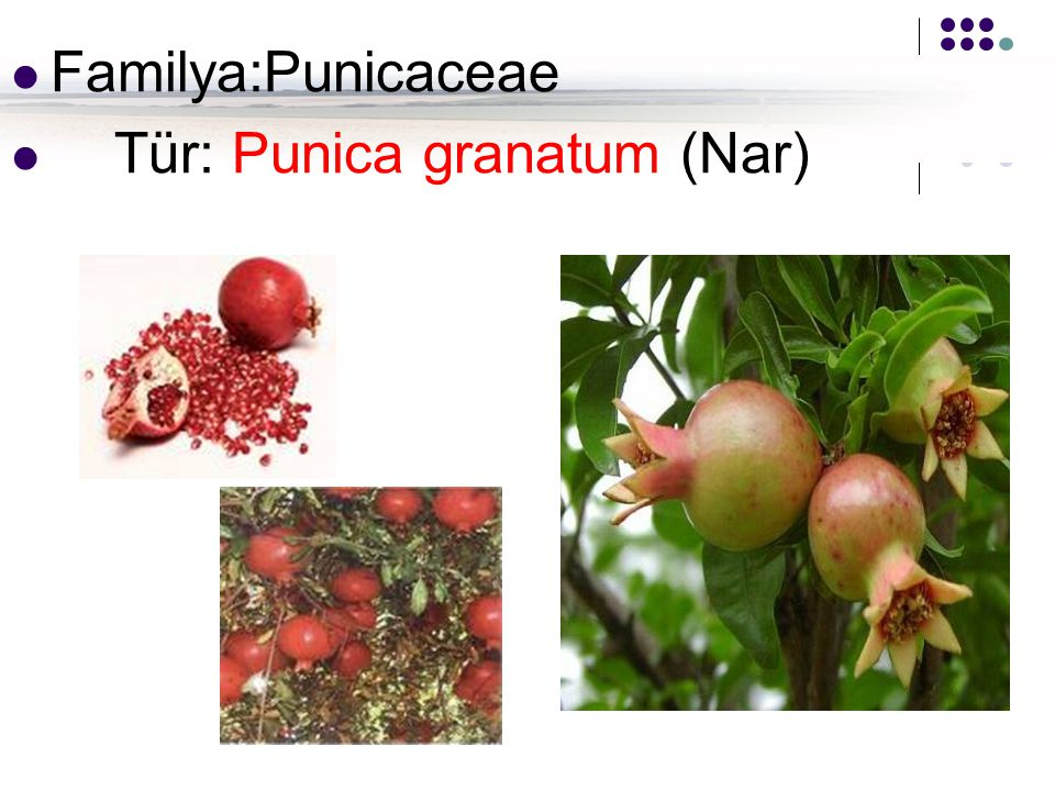 Familya:Punicaceae Tür: Punica granatum (Nar)