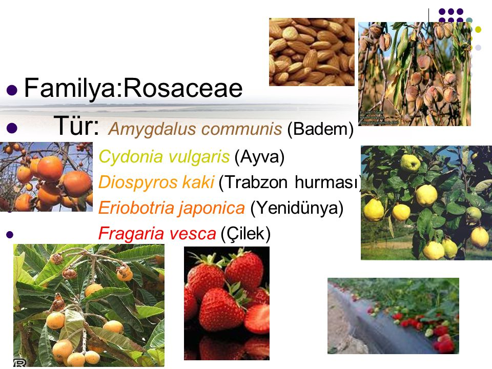 Tür: Amygdalus communis (Badem)
