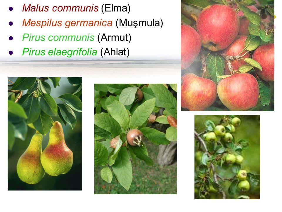 Malus communis (Elma) Mespilus germanica (Muşmula) Pirus communis (Armut) Pirus elaegrifolia (Ahlat)