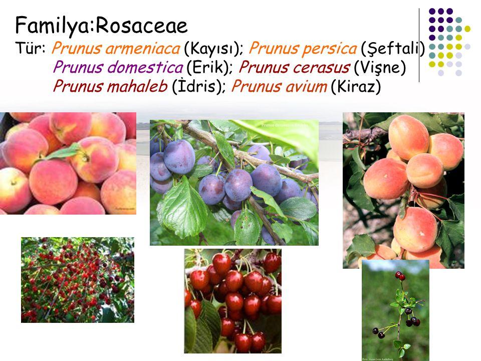 Familya:Rosaceae Tür: Prunus armeniaca (Kayısı); Prunus persica (Şeftali) Prunus domestica (Erik); Prunus cerasus (Vişne)