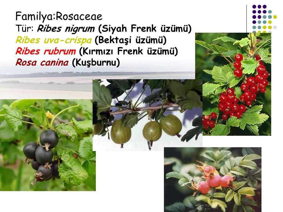 Familya:Rosaceae Tür: Ribes nigrum (Siyah Frenk üzümü)