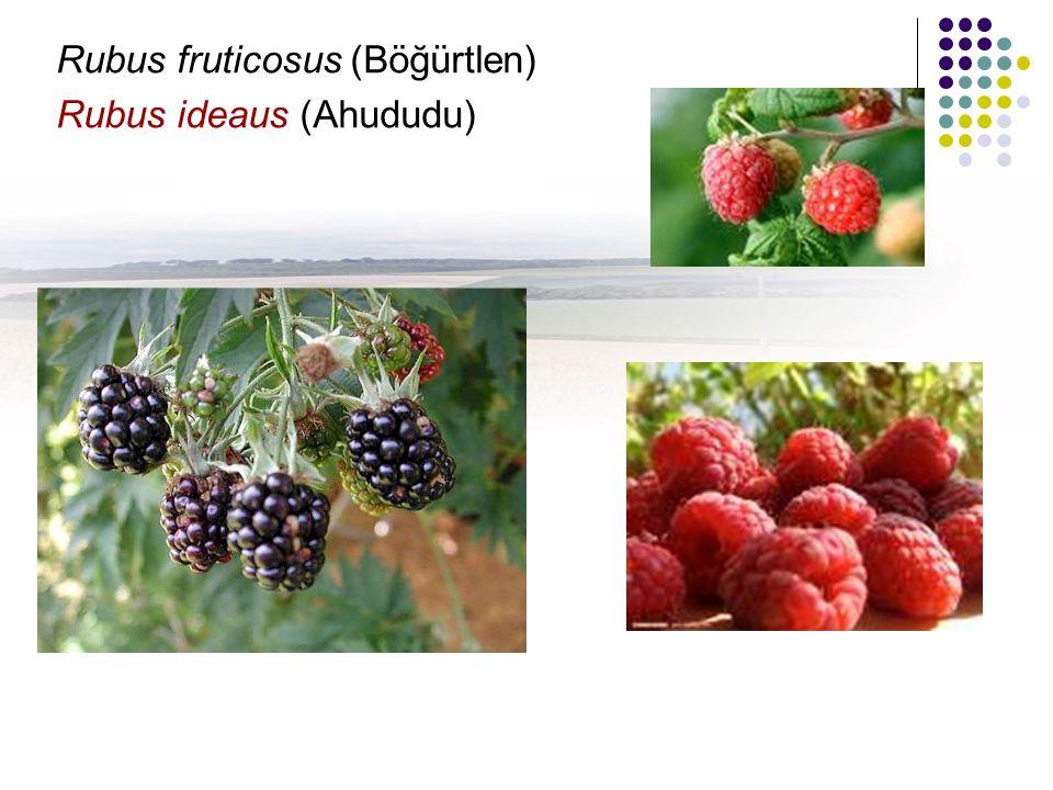 Rubus fruticosus (Böğürtlen)