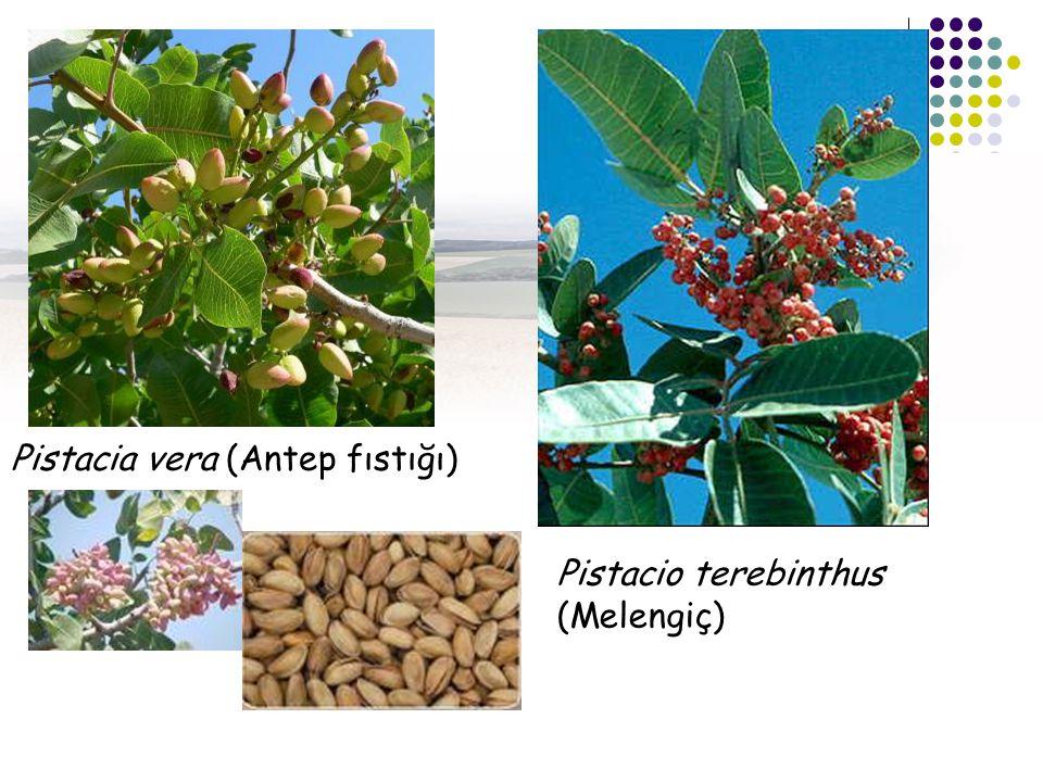 Pistacia vera (Antep fıstığı)