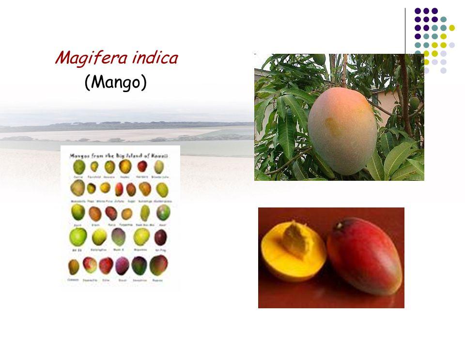Magifera indica (Mango)