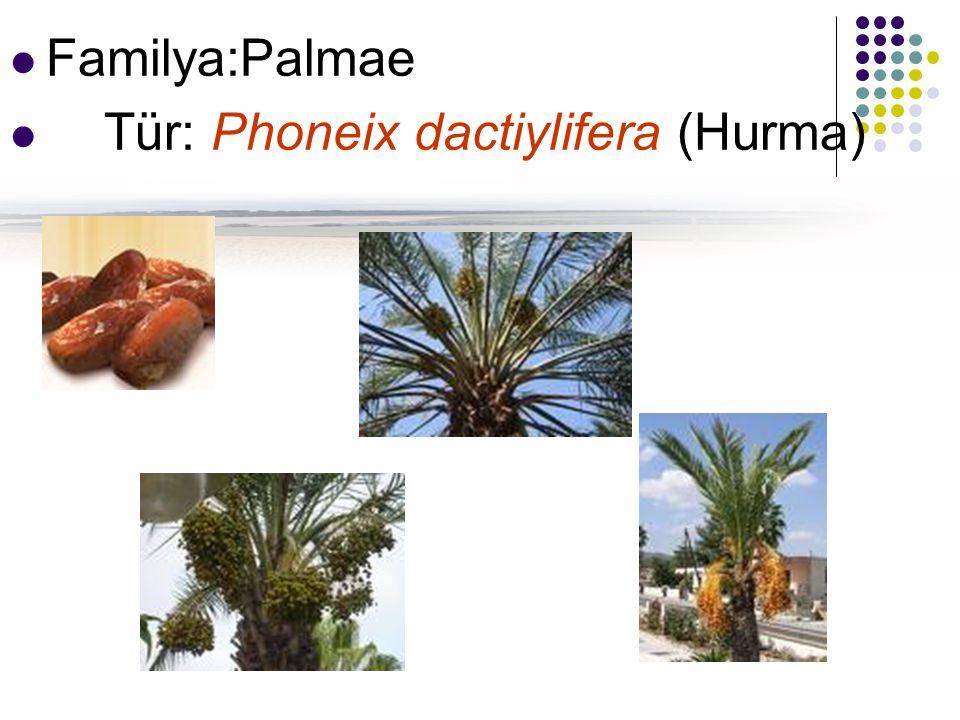 Familya:Palmae Tür: Phoneix dactiylifera (Hurma)