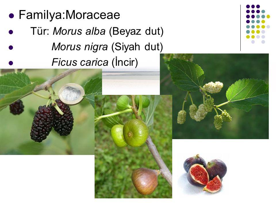 Familya:Moraceae Tür: Morus alba (Beyaz dut) Morus nigra (Siyah dut)