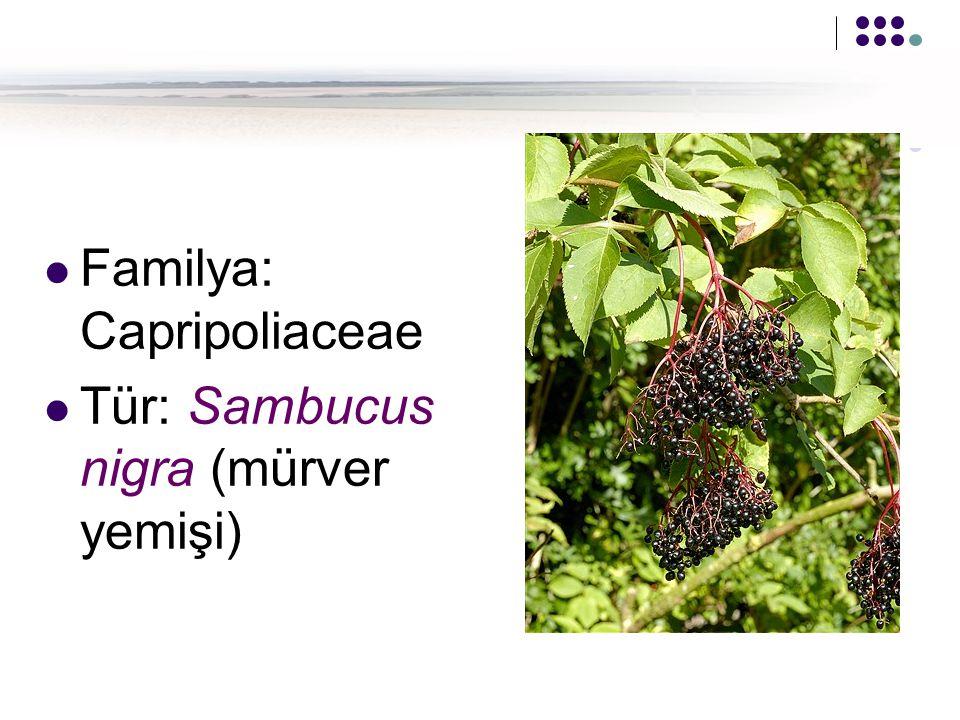 Familya: Capripoliaceae