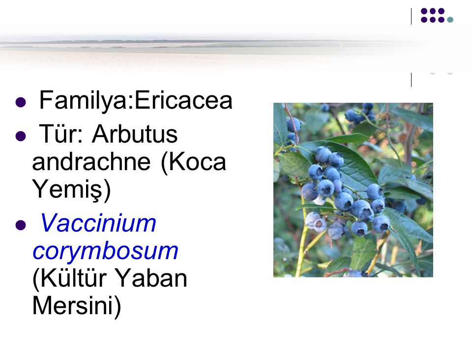 Familya:Ericacea Tür: Arbutus andrachne (Koca Yemiş) Vaccinium corymbosum (Kültür Yaban Mersini)