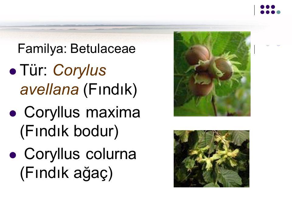 Familya: Betulaceae Tür: Corylus avellana (Fındık) Coryllus maxima (Fındık bodur) Coryllus colurna (Fındık ağaç)