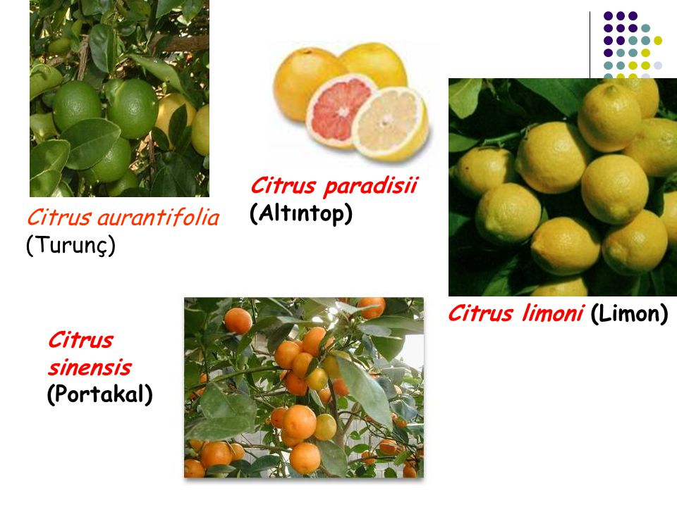 Citrus paradisii (Altıntop) Citrus aurantifolia (Turunç) Citrus limoni (Limon) Citrus sinensis.