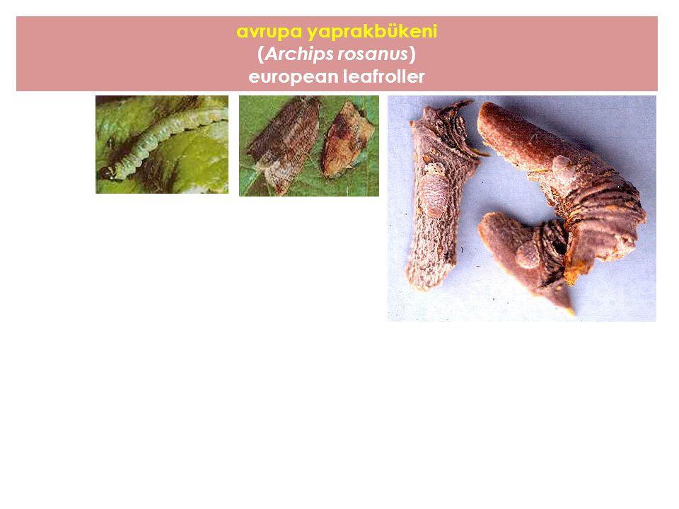avrupa yaprakbükeni (Archips rosanus) european leafroller