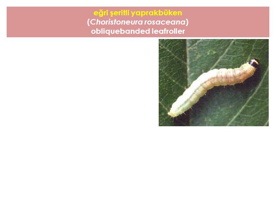eğri şeritli yaprakbüken (Choristoneura rosaceana)