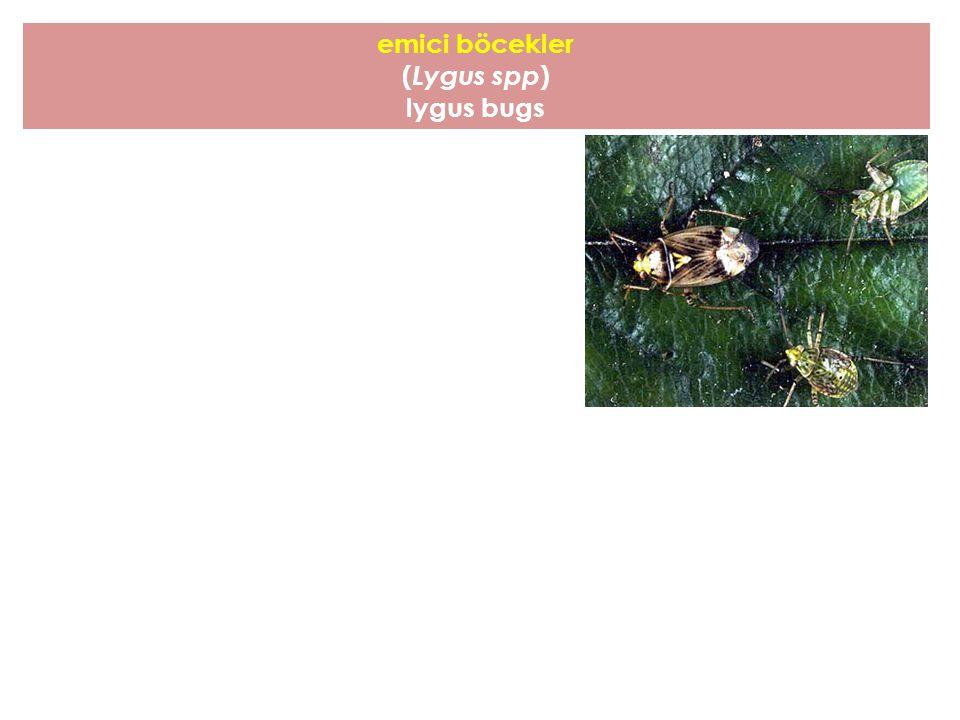 emici böcekler (Lygus spp) lygus bugs