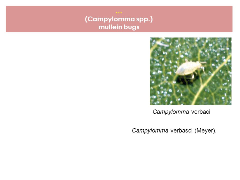 … (Campylomma spp.) mullein bugs