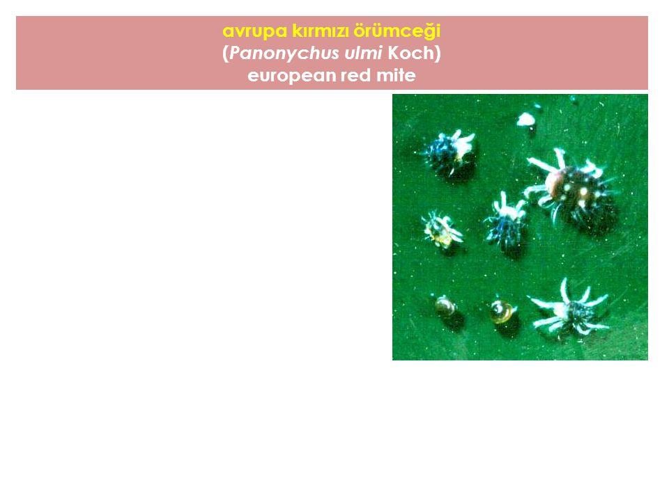 avrupa kırmızı örümceği (Panonychus ulmi Koch)