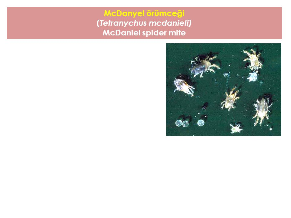 (Tetranychus mcdanieli)