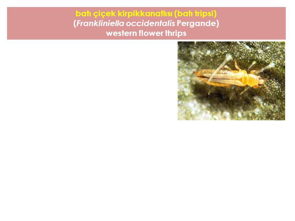 batı çiçek kirpikkanatlısı (batı tripsi)