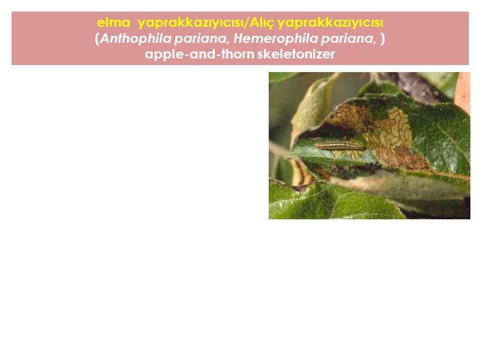 elma yaprakkazıyıcısı/Alıç yaprakkazıyıcısı