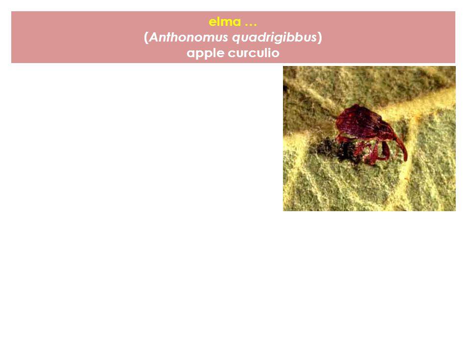 (Anthonomus quadrigibbus)