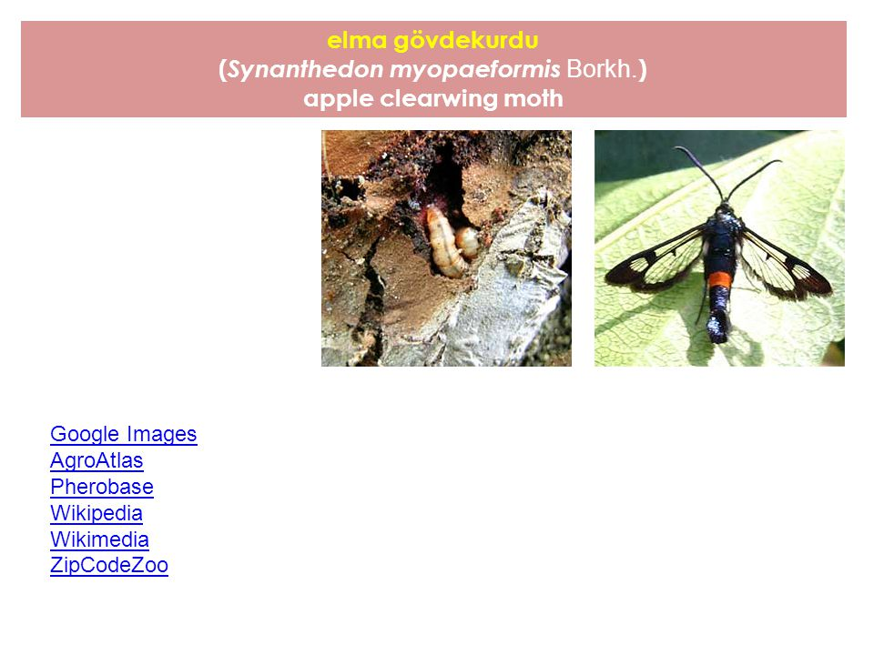 (Synanthedon myopaeformis Borkh.)