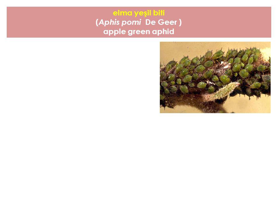 elma yeşil biti (Aphis pomi De Geer ) apple green aphid
