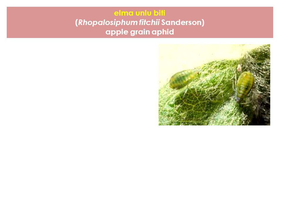 (Rhopalosiphum fitchii Sanderson)