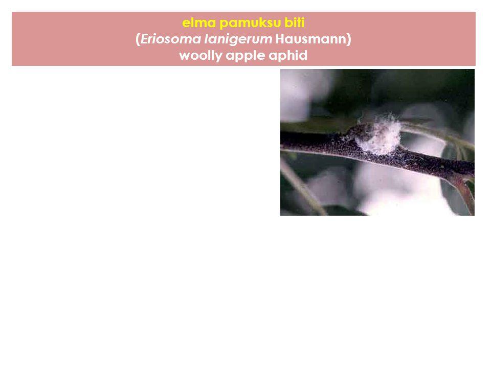 (Eriosoma lanigerum Hausmann)
