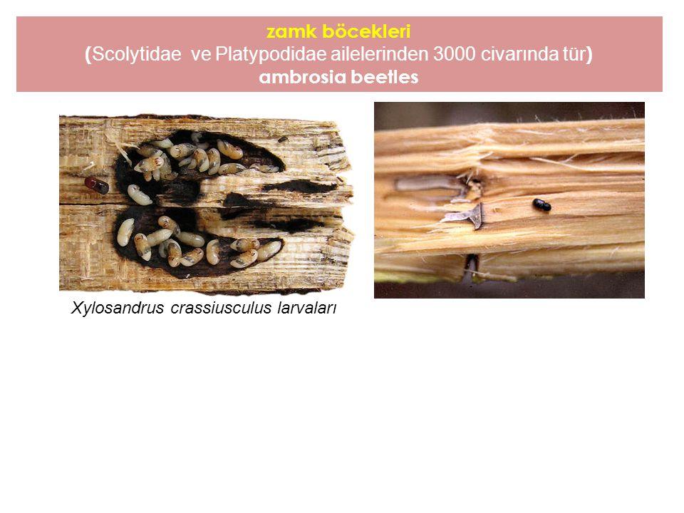 (Scolytidae ve Platypodidae ailelerinden 3000 civarında tür)