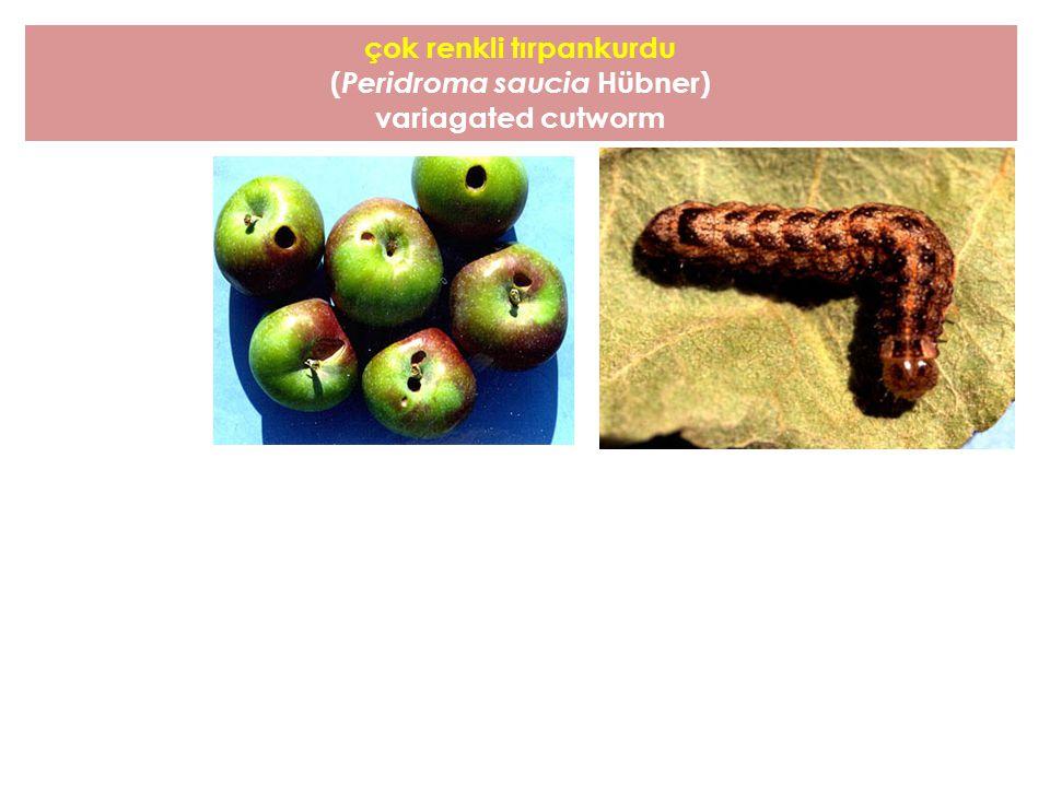 çok renkli tırpankurdu (Peridroma saucia Hübner)