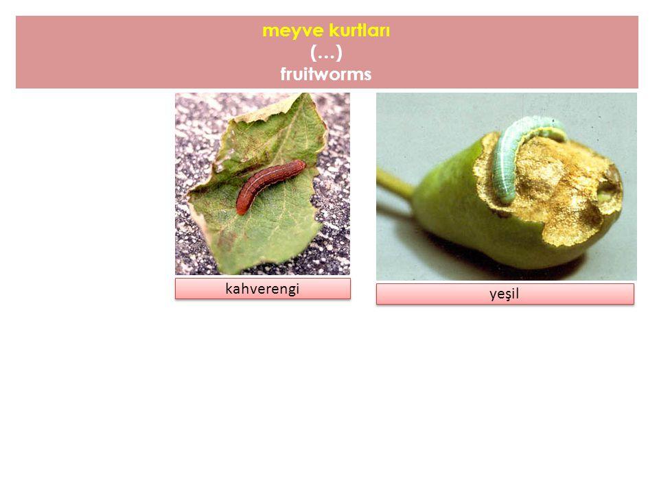 meyve kurtları (…) fruitworms