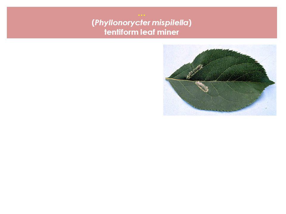 (Phyllonorycter mispilella)