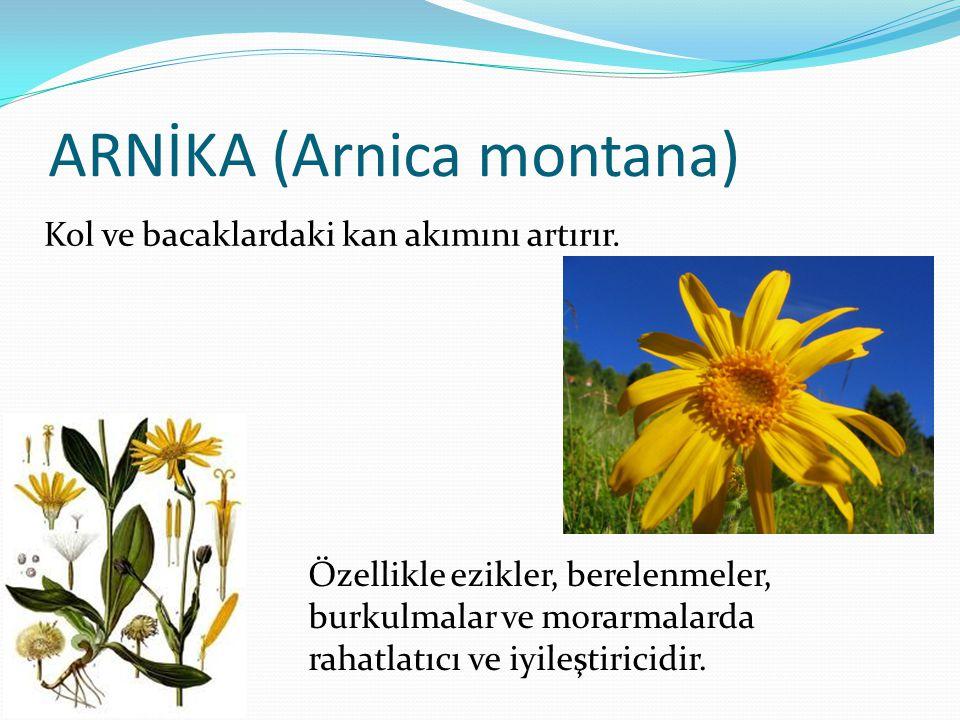 ARNİKA (Arnica montana)