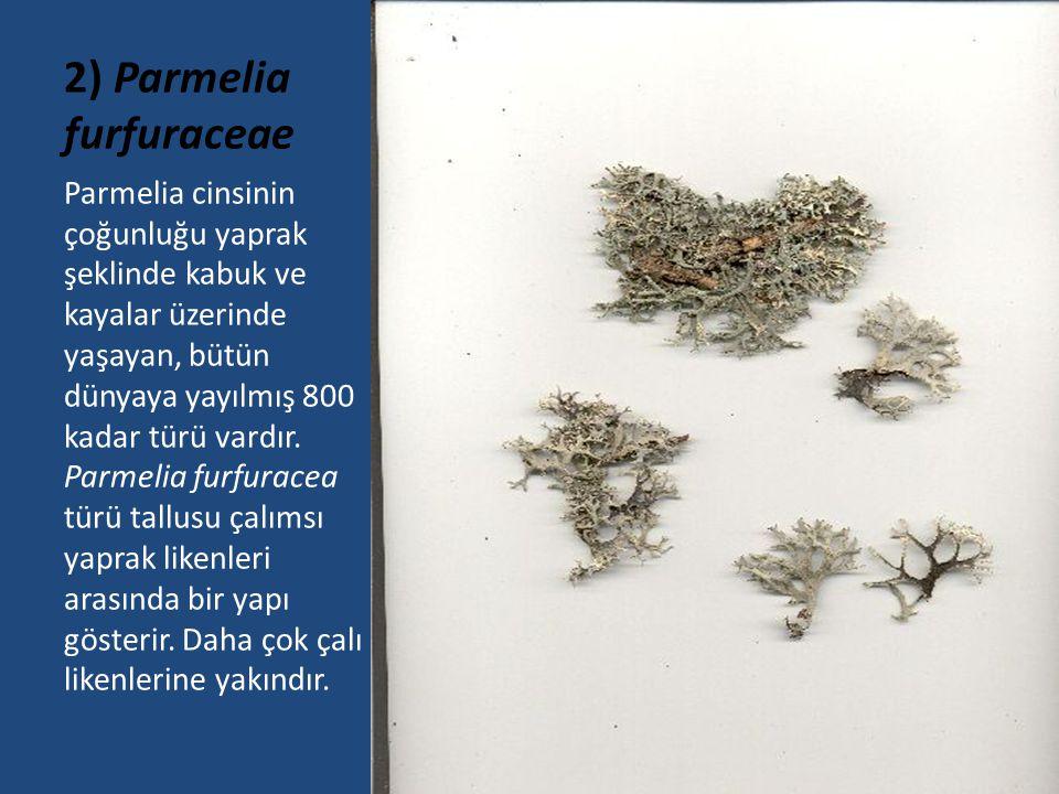 2) Parmelia furfuraceae